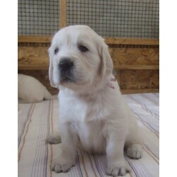 Puppies out of Ch Felicity Queen from Mariannehouse x Ch Swanavly Nordic Sun